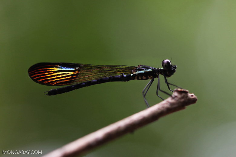 Dragonfly with rainbow wings