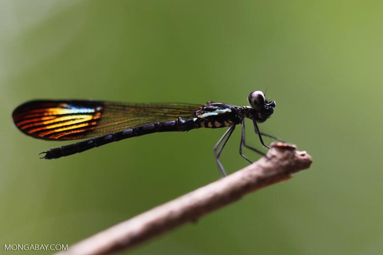 Damselfly with rainbow wings