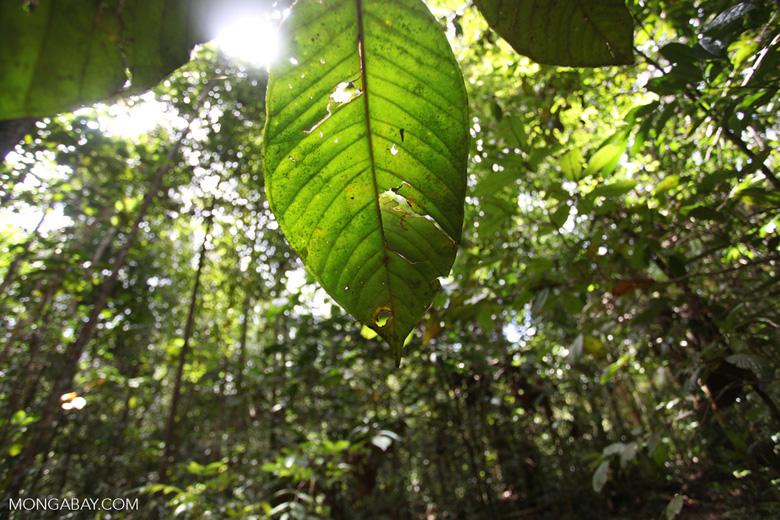 Rainforest lead