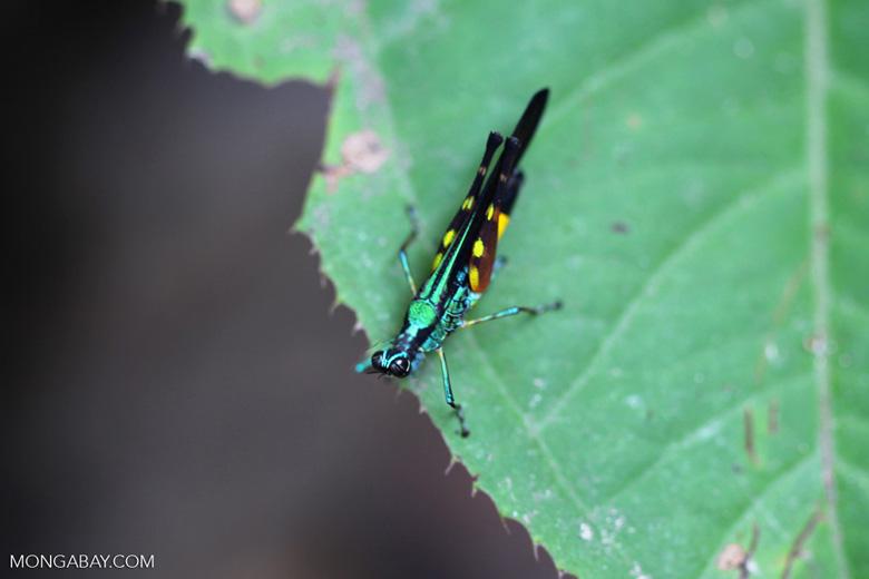Rainbow grasshopper [kalbar_1358]