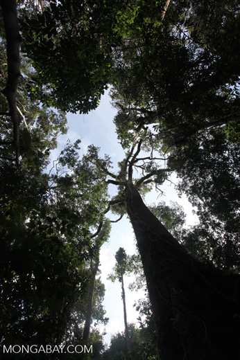Towering rain forest tree