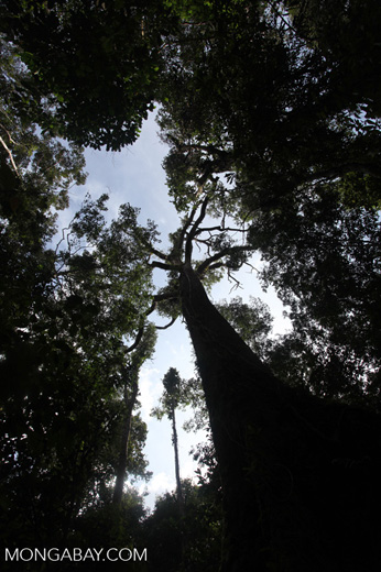 Towering rainforest tree [kalbar_0233]