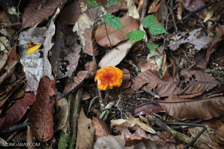 Nibbled orange fungi