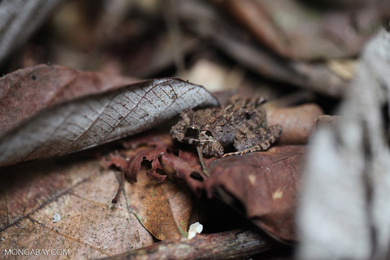 Leaf toad among forest litter
