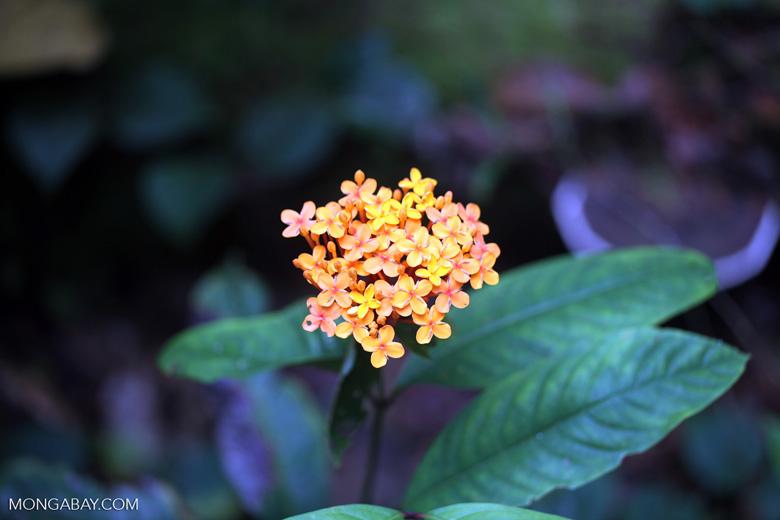 Orange flowers in the Borneo rainforest [kalbar_1393]