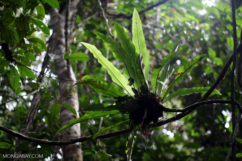 Rainforest bromeliad