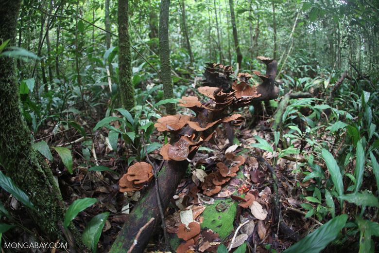 Reddish-brown fungi in the rainforest