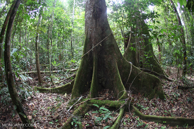 Buttress roots of a rainforest tree [kalbar_1479]