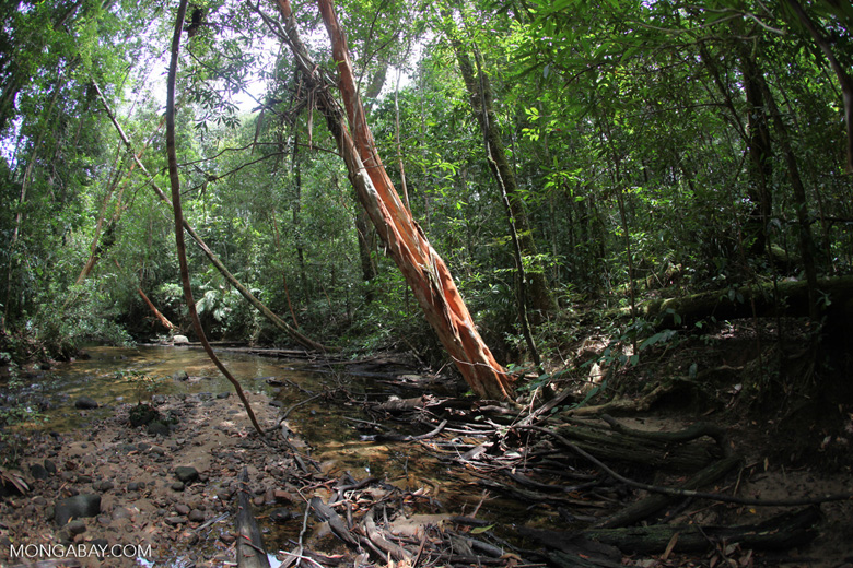 Rainforest tree with a red trunk [kalbar_0459]