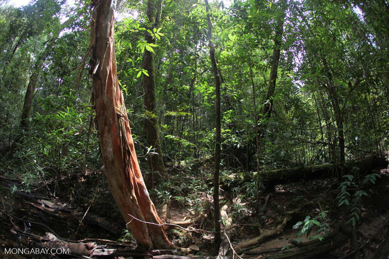 Rain forest tree with a red trunk