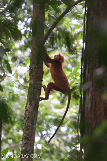 Red Langur (Presbytis rubicunda) [kalbar_0480]