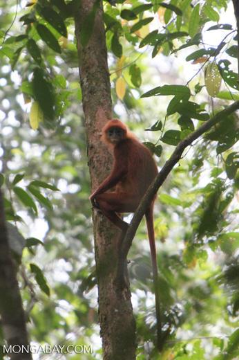 Maroon Leaf Monkey (Presbytis rubicunda) [kalbar_0517]