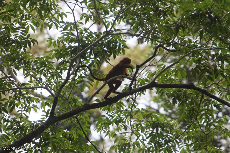 Maroon Leaf Monkey (Presbytis rubicunda) in the rainforest canopy