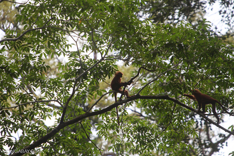 Red Leaf Monkeys (Presbytis rubicunda) [kalbar_0554]