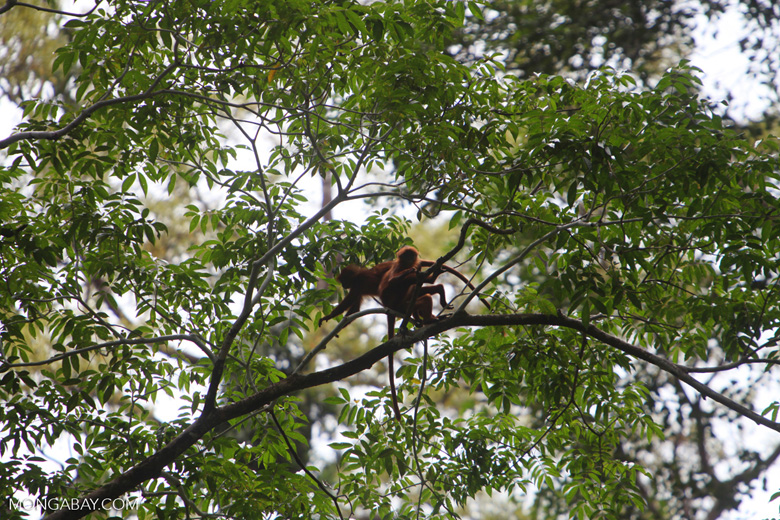 Red Leaf Monkeys (Presbytis rubicunda) [kalbar_0559]