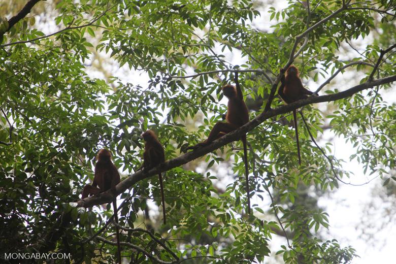 Maroon Leaf Monkeys [kalbar_0600]