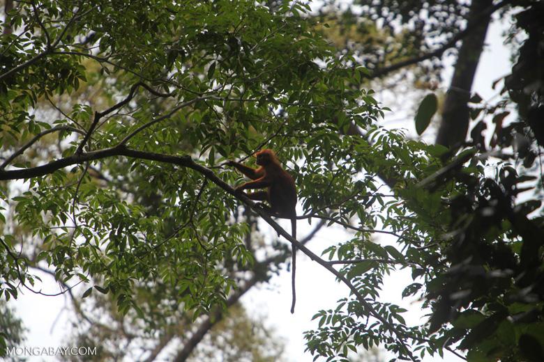 Red Leaf Monkey [kalbar_0614]