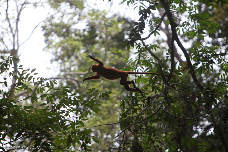 Red Leaf Monkey jumping
