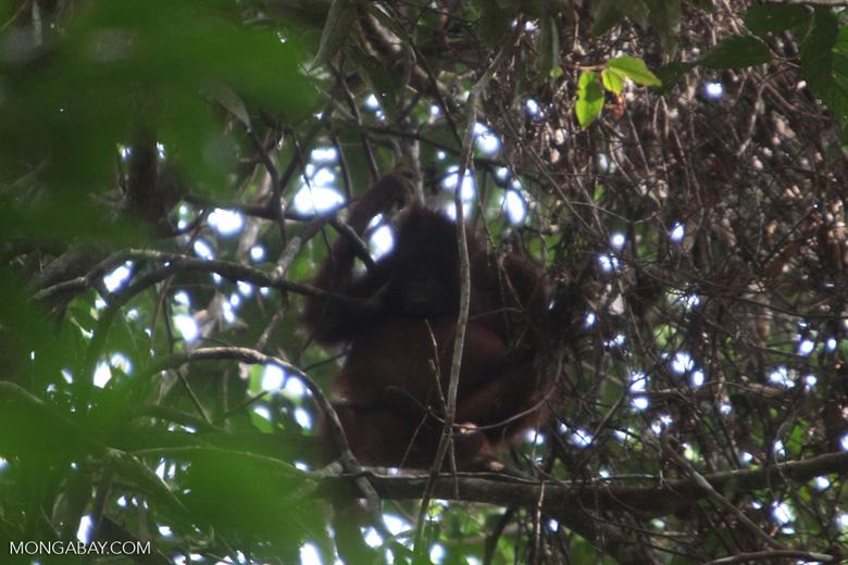 Young orangutan in Gunung Palung [kalbar_0691]