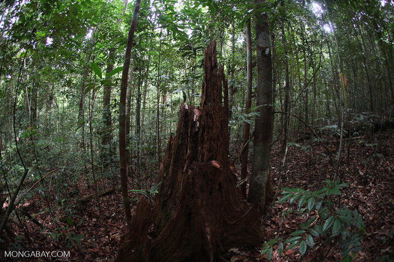 Rotting tree stump in Borneo