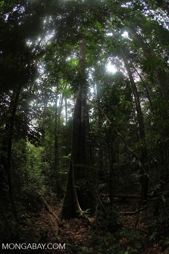Rainforest in Indonesian Borneo [kalbar_0836]