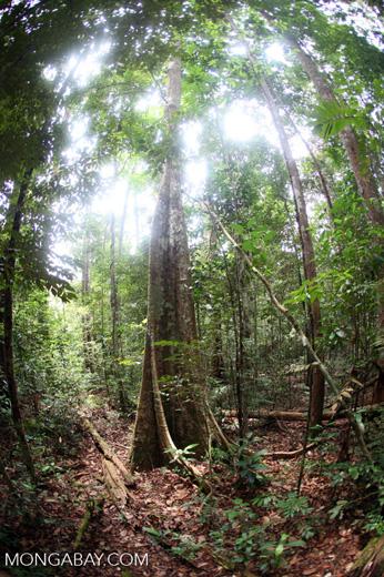 Rainforest in Indonesian Borneo [kalbar_0838]