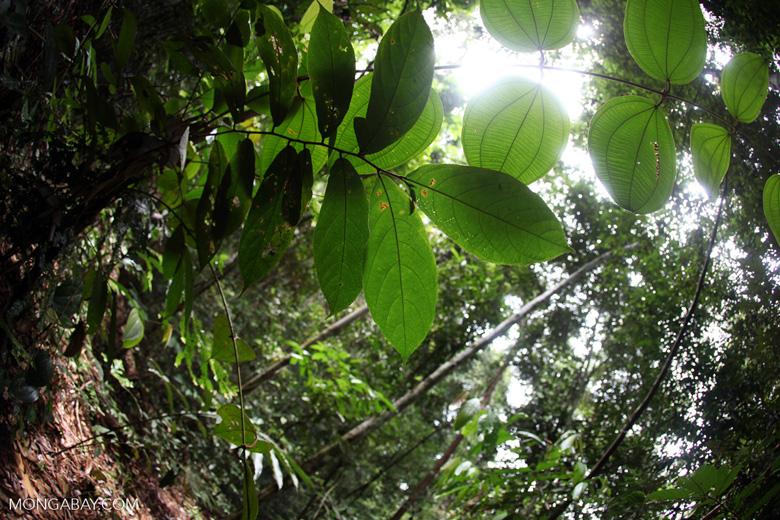 Borneo rainforest [kalbar_1390]