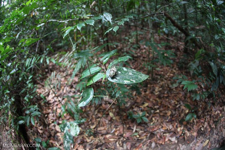 Fisheye view of a cicada in the Borneo rainforest [kalbar_0904]