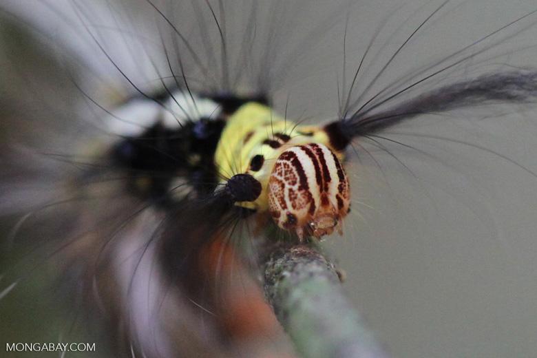 Maroon, yellow, black, and white caterpillar [kalbar_0911]