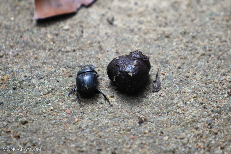 Dung beetle next to a piece of poop