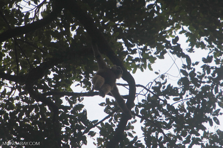 Gibbon hanging from a branch in the canopy