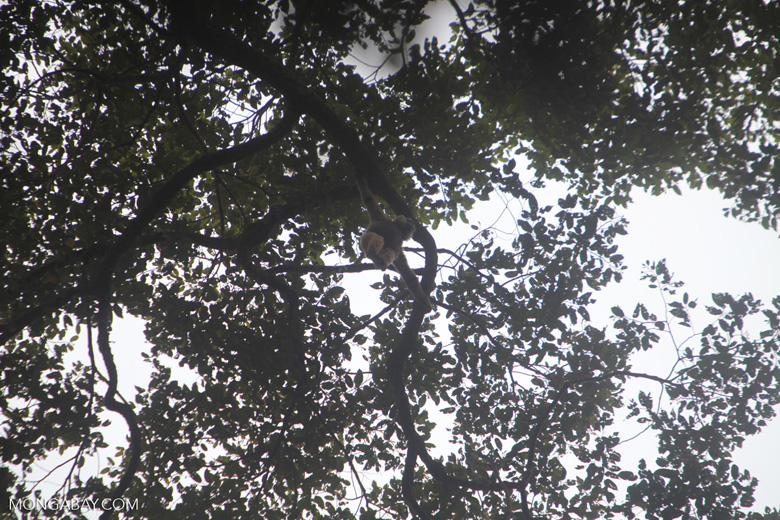 Gibbon swinging in the canopy