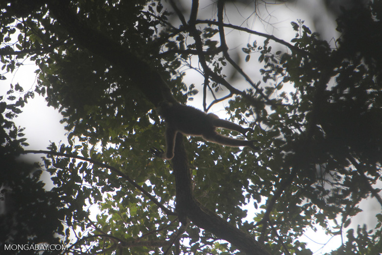 Gibbon swinging from a branch in the canopy