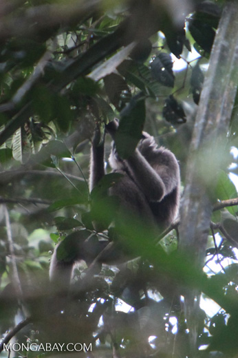 Bornean white-bearded gibbon [kalbar_0980]