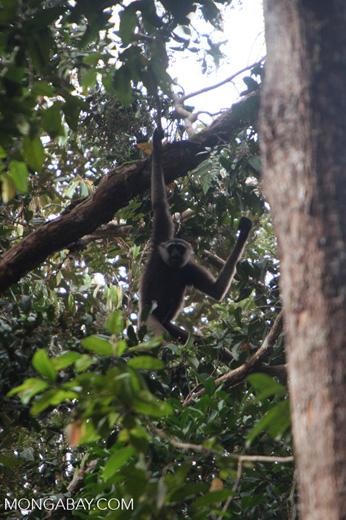 Bornean white-bearded gibbon [kalbar_1002]