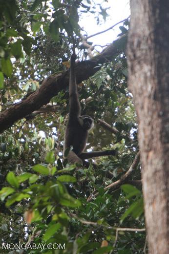 Bornean white-bearded gibbon