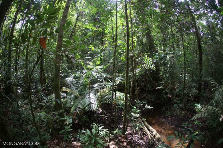 Rainforest in West Kalimantan [kalbar_1049]