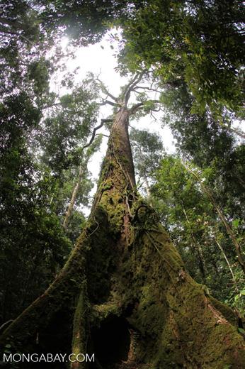 Rainforest emergent tree in Borneo [kalbar_1027]