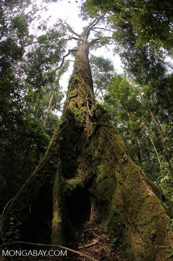 Rainforest emergent tree in Borneo