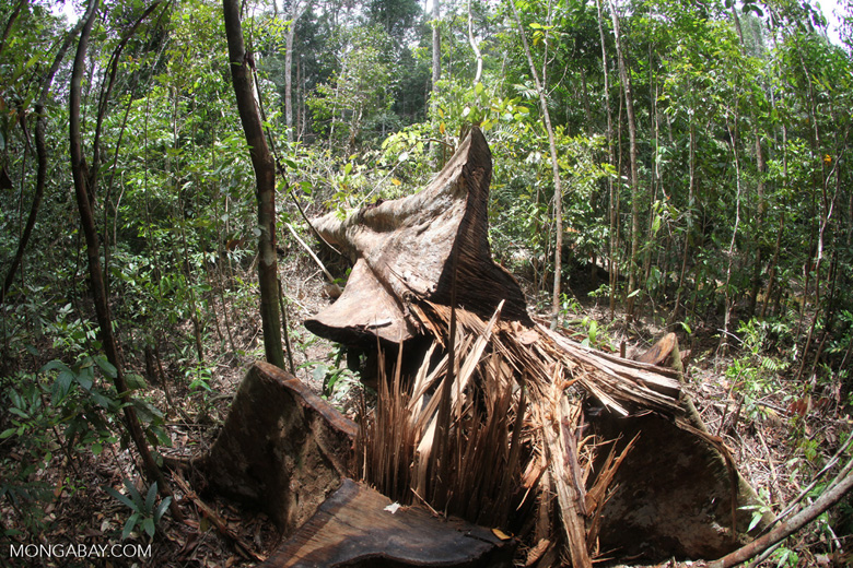 An illegally logged tree in Kalimantan, Indonesia. Photo by Rhett A. Butler