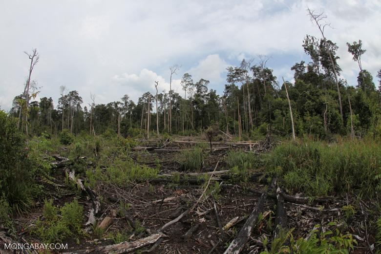 Destroyed peat land in Borneo