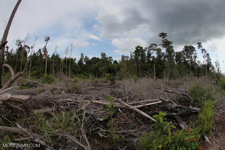 Burned rainforest area in Borneo