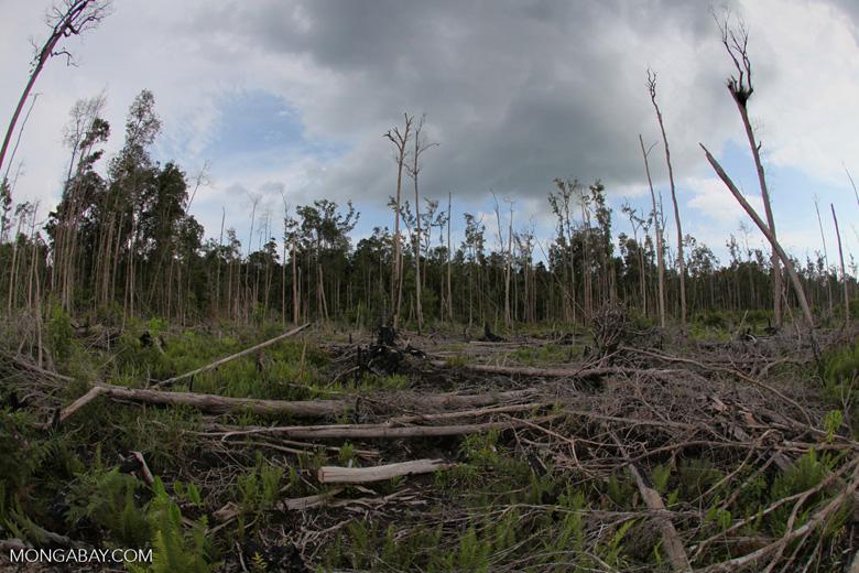 destroyed rain forest landscape in borneo kalbar 1162
