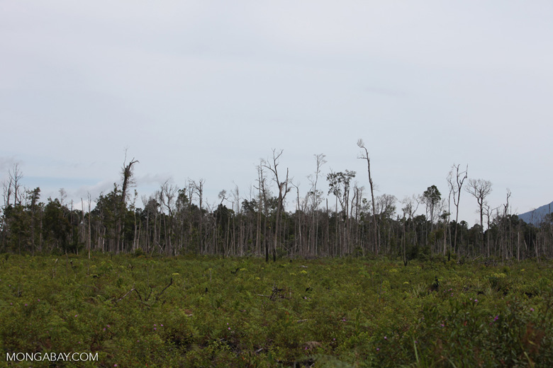 Deforested peat forest in Indonesian Borneo [kalbar_1317]