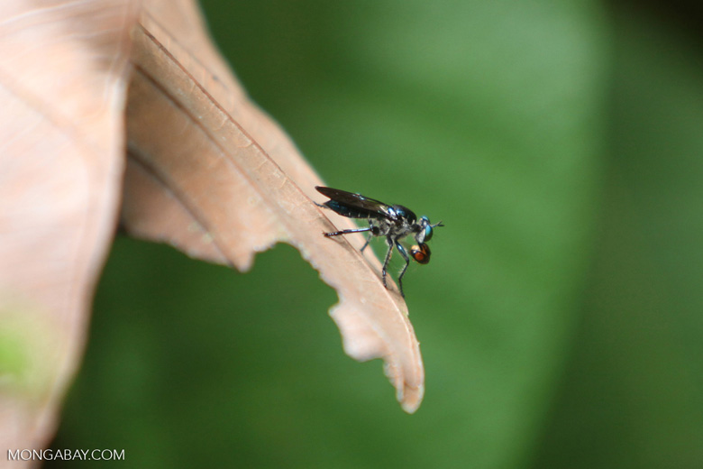 Fly eating a small beetle [kalbar_1327]