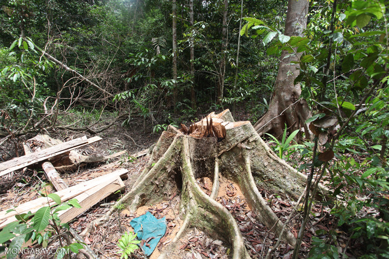 Illegally logged rainforest tree in Gunung Palung National Park [kalbar_1335]