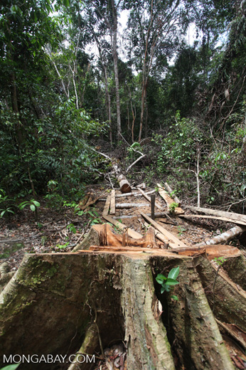 Illegally logged rainforest tree in Gunung Palung National Park [kalbar_1336]