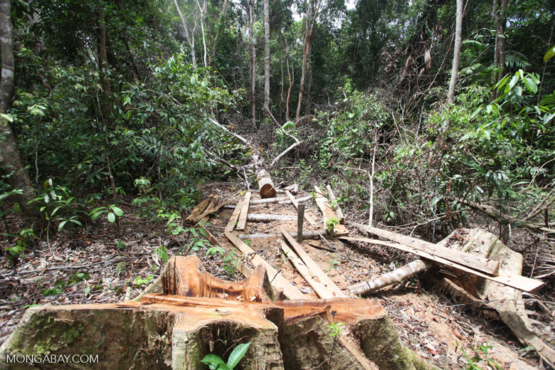 Illegally logged rainforest tree in Gunung Palung National Park in Indonesia.