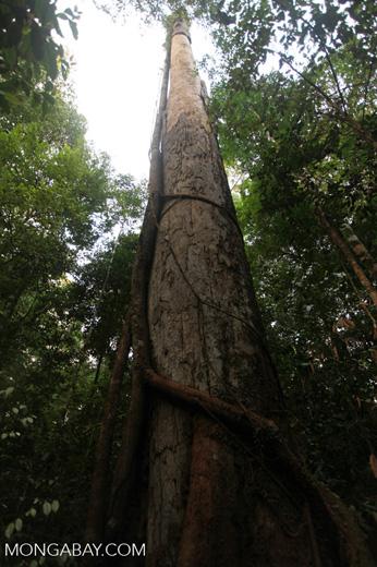 Hardwood tree in the rainforest