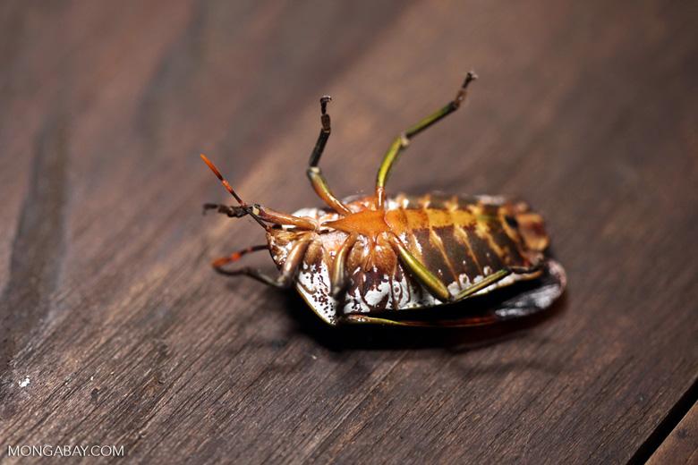 Giant shield bug [kalbar_1408]